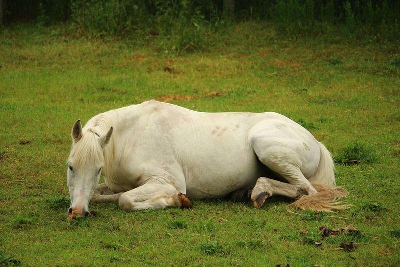 Un cheval couché qui mange | Cheval, Photos de chevaux, Images