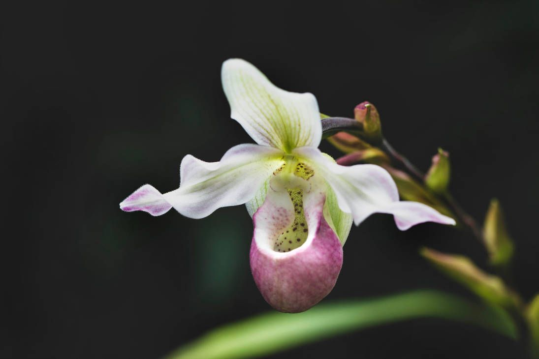 Phragmipedium Sedenii Longifolium Pink X Schlimii By Kitteh Pawz In 2020 Flower Aesthetic Pretty Flowers Orchids