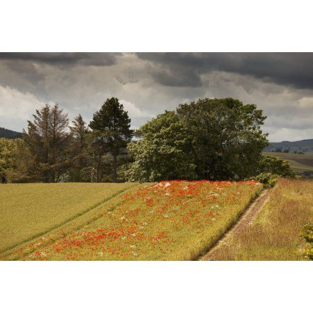 Red wildflowers growing in a strip of a fieldNorthumberland england Canvas Art - John Short Design Pics (38 x 24)