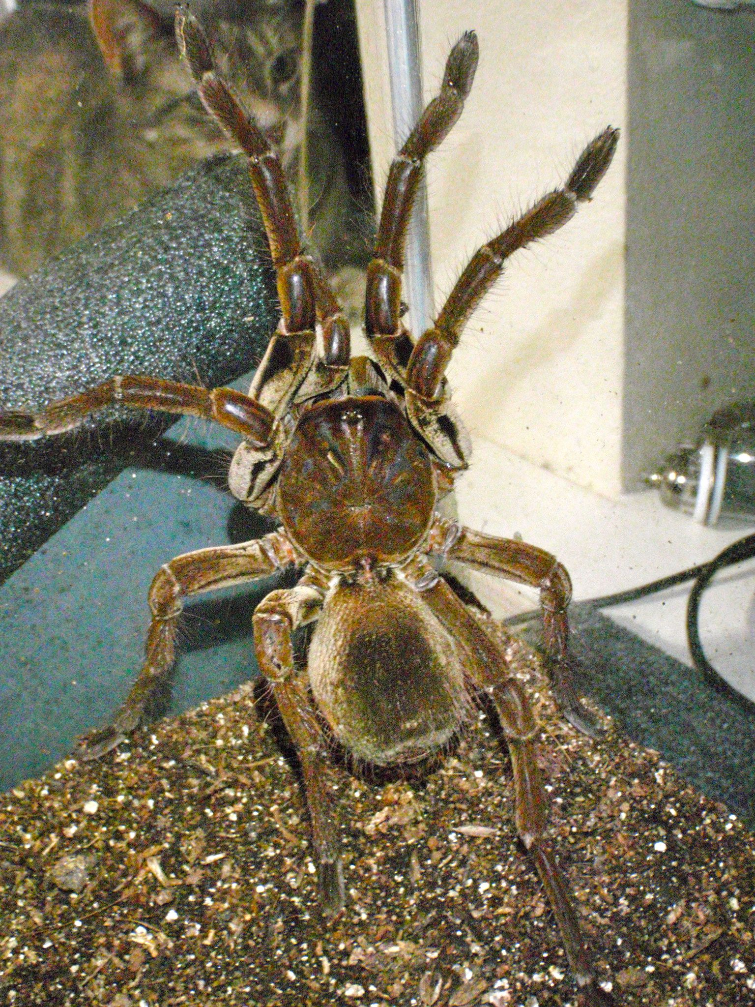 The Goliath Birdeater Theraphosa Blondi Is A Spider