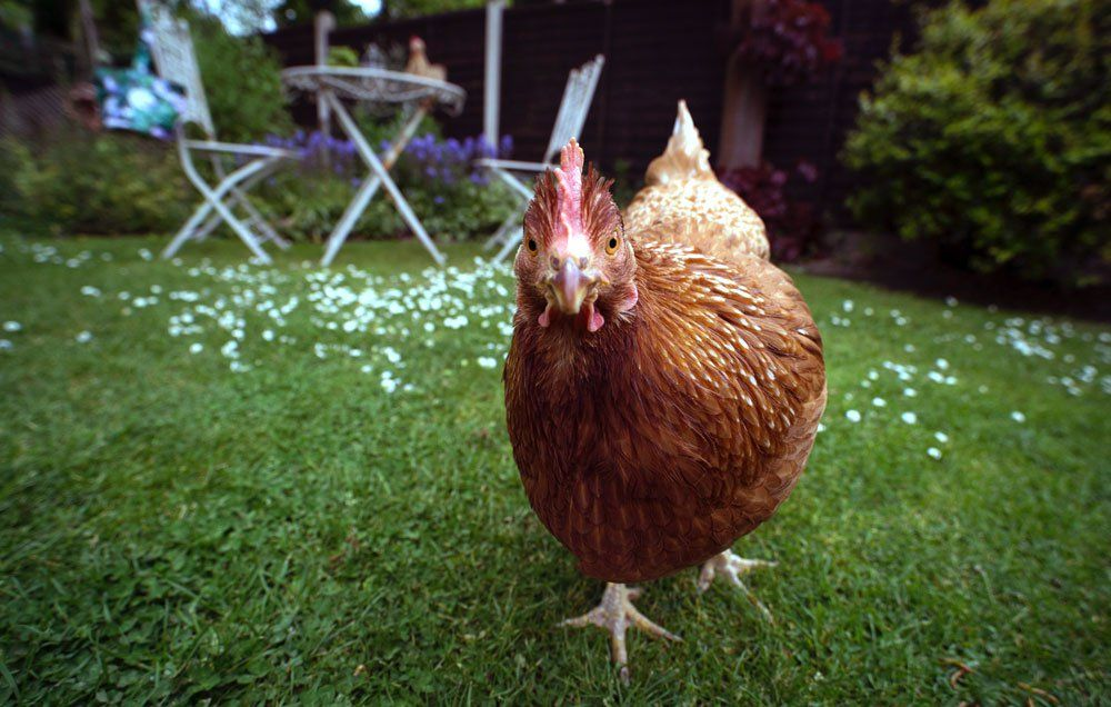 How You Can Still Raise Chickens In Your Tiny Back Yard ...