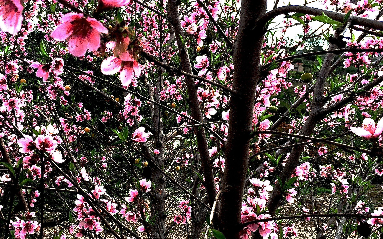 Pruning Peach Nectarine Trees Pruning Fruit Trees Peach Trees Flowering Trees