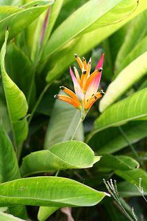 Heliconia Psittacorum Heliconiaceae Heliconia Plants Ornamental Plants