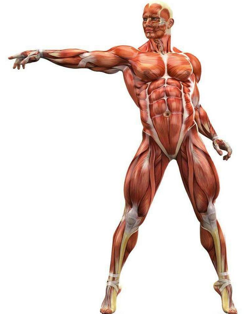 поздравительной открытке анатомия мышц человека бодибилдинг фото яркие актеры бразильских