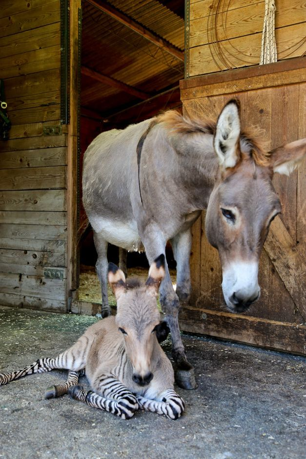 FOTO #Ippo, noua vedetă a Italiei: puiul născut dintr-o zebră şi un măgar #animals #babyanimals #cute
