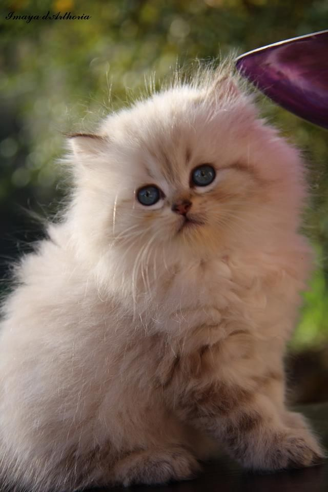 Imaya Femelle British Longhair Seal Golden Tabby Point Cat Chat Babycat Kitten Britishlonghair Colorpoint Pretty Cats Baby Cats Kittens And Puppies