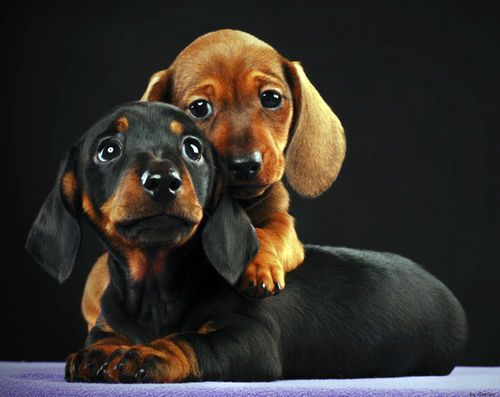 Adorable Wiener Dogs With Images Dachshund Puppies