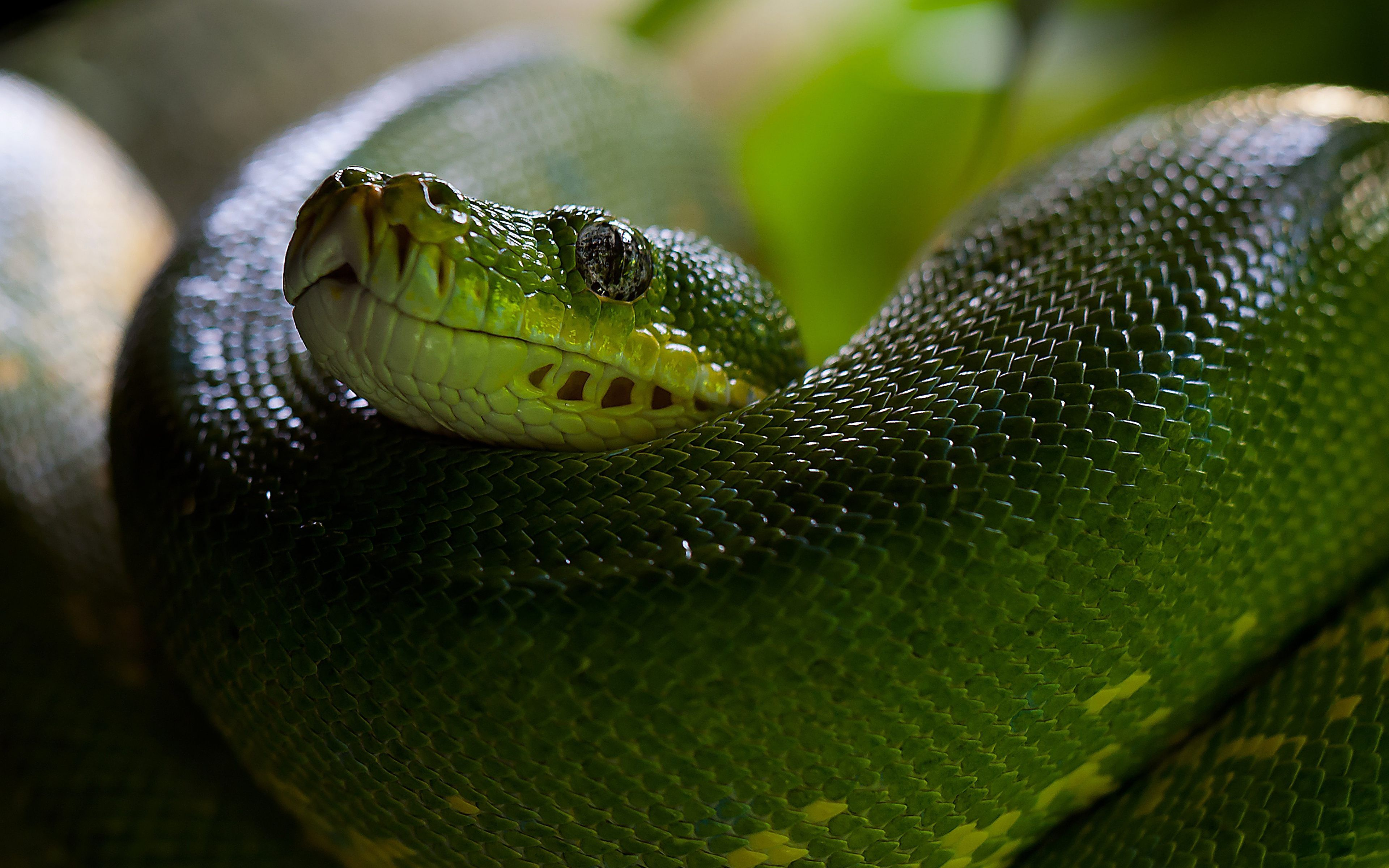 green snake wallpaper with high resolution wallpaper 3840x2400 px