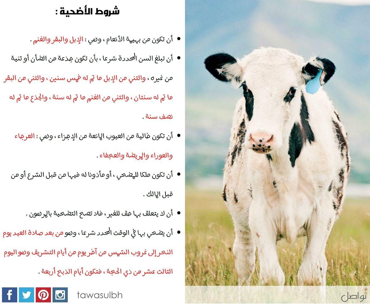 شروط الأضحية أن تكون من بهيمة الأنعام وهي الإبل والبقر والغنم أن تبلغ السن المحددة شرع ا أن تكون خالية من العيوب المانعة من الإ Animals Slg Cow