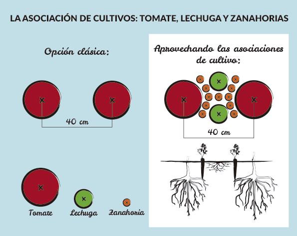 Asociaci n tomate lechuga zanahorias esquema de cultivo for Asociacion de plantas en el huerto
