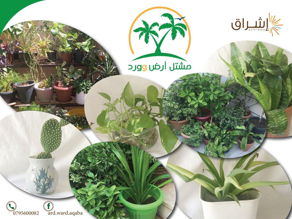 الزراعة هي الكنز الذي لا ينضب بل انها الكنر الذي ينمو و يزيد مشتل أرض وورد أحد مشاريع إشراق محافظة االعقبة مشتل منزلي لبيع نباتات الزينة الداخلية و Plants
