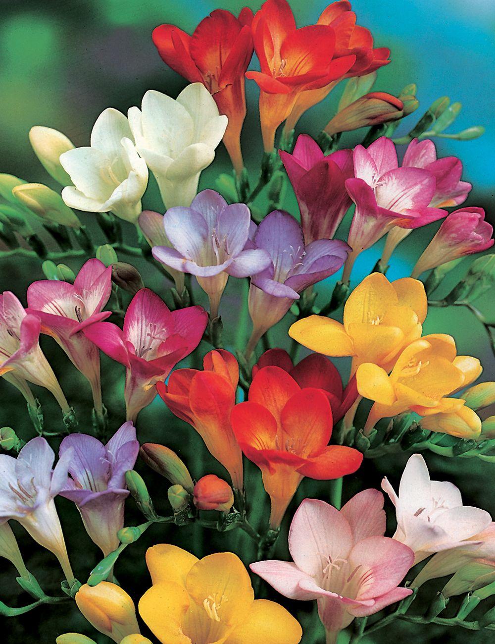 Burgunden Freesias Mixed Tesselaar In 2020 Freesia Flowers Happy Flowers Fresia Flower