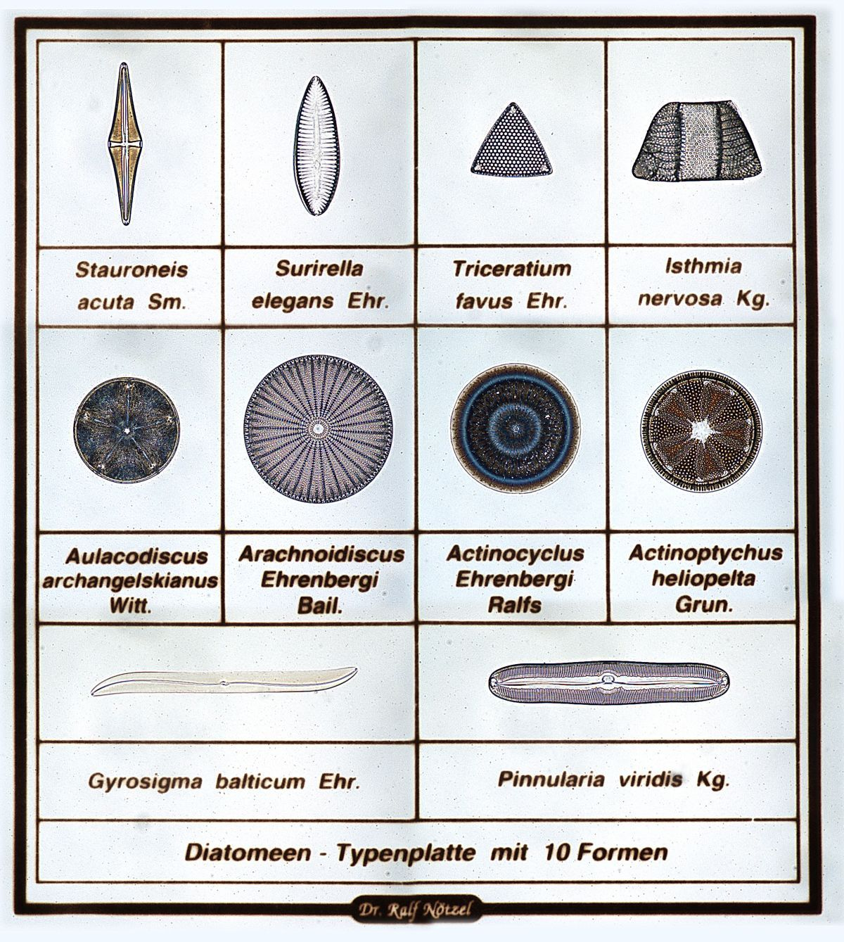 Diatoms are mostly asexual members of the phytoplankton