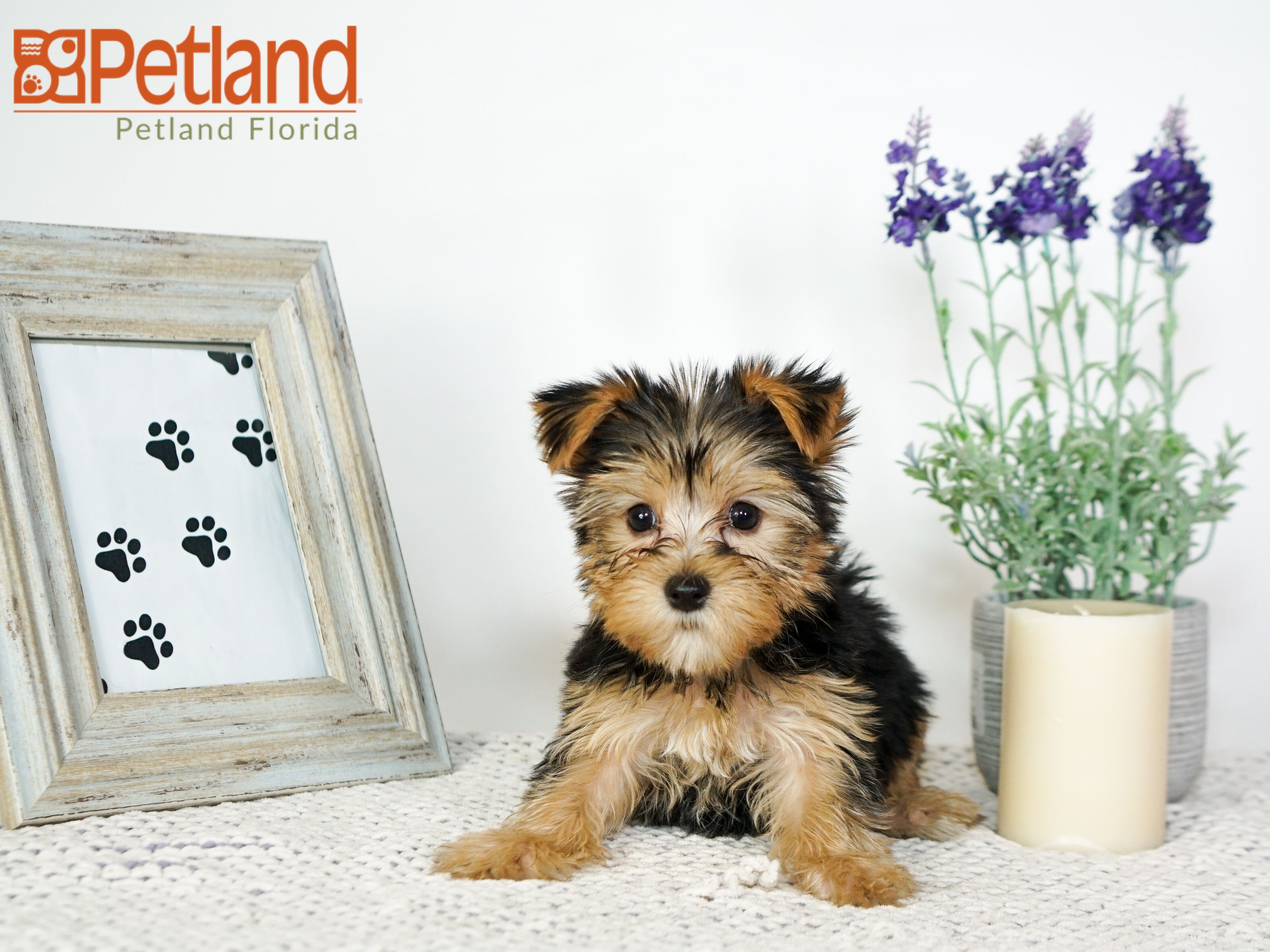 Puppies For Sale With Images Puppy Friends Yorkshire Terrier