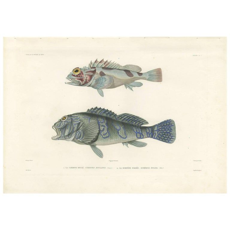 Antique Fish Print of the Giant Hawkfish and a Scorpionfish by Gide, 1846