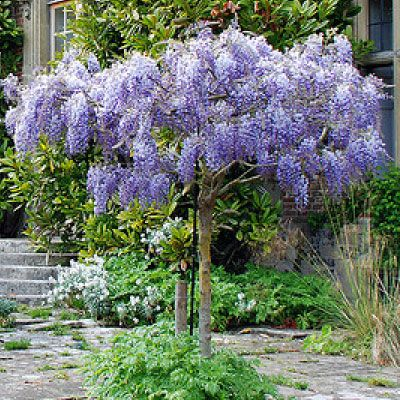 Wisteria Lovely Scent Can Flower Twice A Year Much Easier To Prune Than Some Might Suggest Garden Plants Design Wisteria Plant Wisteria Tree