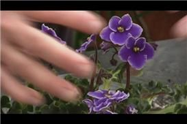 How To Fertilize African Violets With Epsom Salts Garden Guides