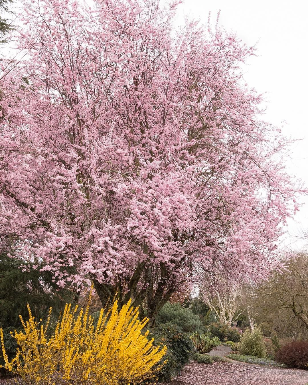 The Thundercloud Purple Leaf Plum Is A Stunning Landscape Specimen With Pale Pink Single Blooms In The Spring And Coppery Purple Folia Tradgardsvaxter Tradgard