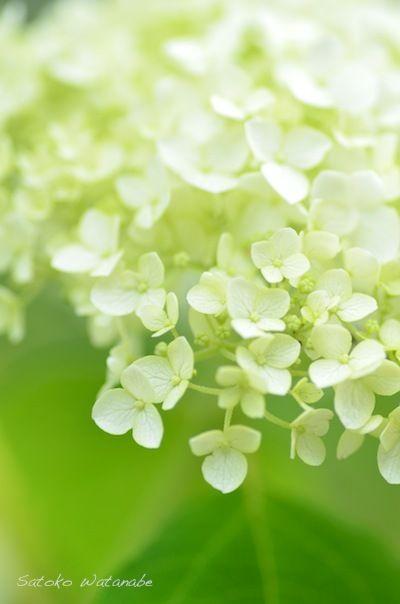 アナベルも咲いていました 花の写真 美しい花 綺麗な花