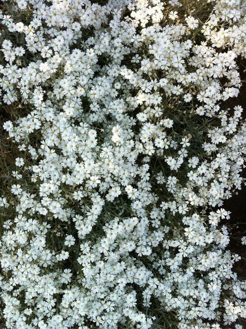 #flowers #nature #pretty #white