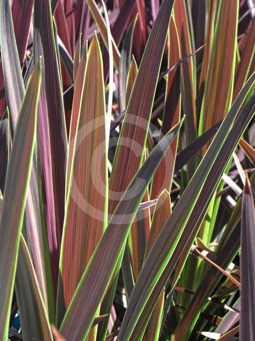 Cordyline Australis Choc Mint Choc Mint Cabbage Tree Information Photos Plants Planting Flowers Plant Information