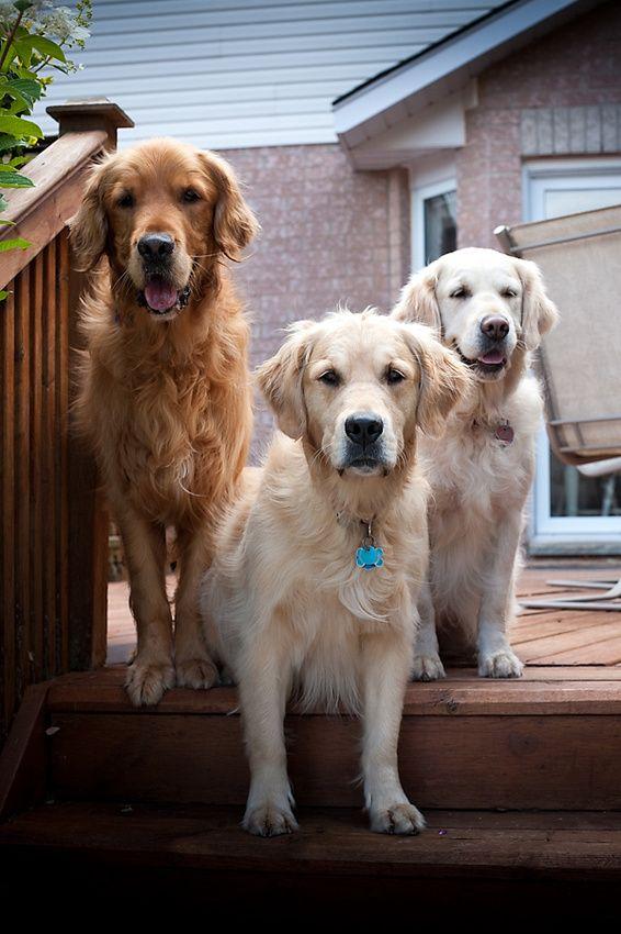 Golden Retriever Golden Retriever Best Dog Breeds Most