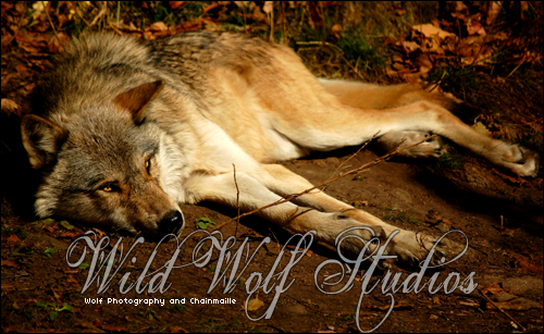 wolf lying down Animals, Wolf, Trailer images