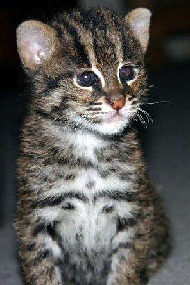 The Fishing Cat Has Webbed Feet Wild Cats Small Wild Cats Cats
