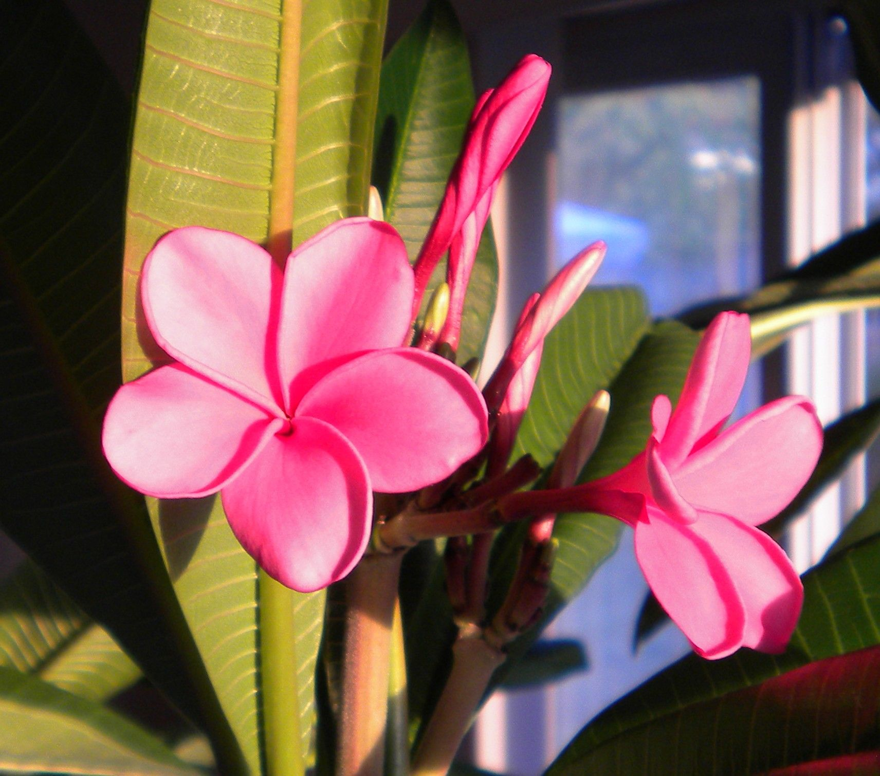 Plumeria Blooms, November 2010. Plumeria, Bloom