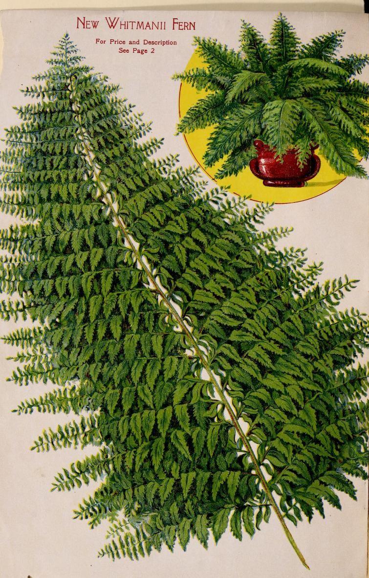 Schmidt & Botley Co., seedsmen and florists catalogue -1908 - New Whitmanii Fern