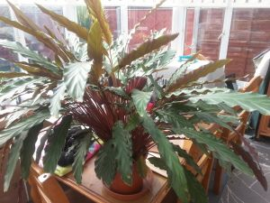 Many varieties of Calathea #houseplants, like this rufibarba ... on house plants with waxy red blooms, house plants with dark red leaves, house plants and their names, house with red flowers, house plants with long green leaves, house plants with small leaves, florida plants with red leaves, poisonous plants with purple leaves, tomato plants with purple leaves, house plants with shiny leaves, house plant purple heart, purple foliage plants with leaves, house plants with bronze leaves, wandering jew with fuzzy leaves, house plants with light green leaves, house plants with colorful leaves, house plant rubber plant, olive tree green leaves, purple house plant fuzzy leaves, perennial plants with purple leaves,