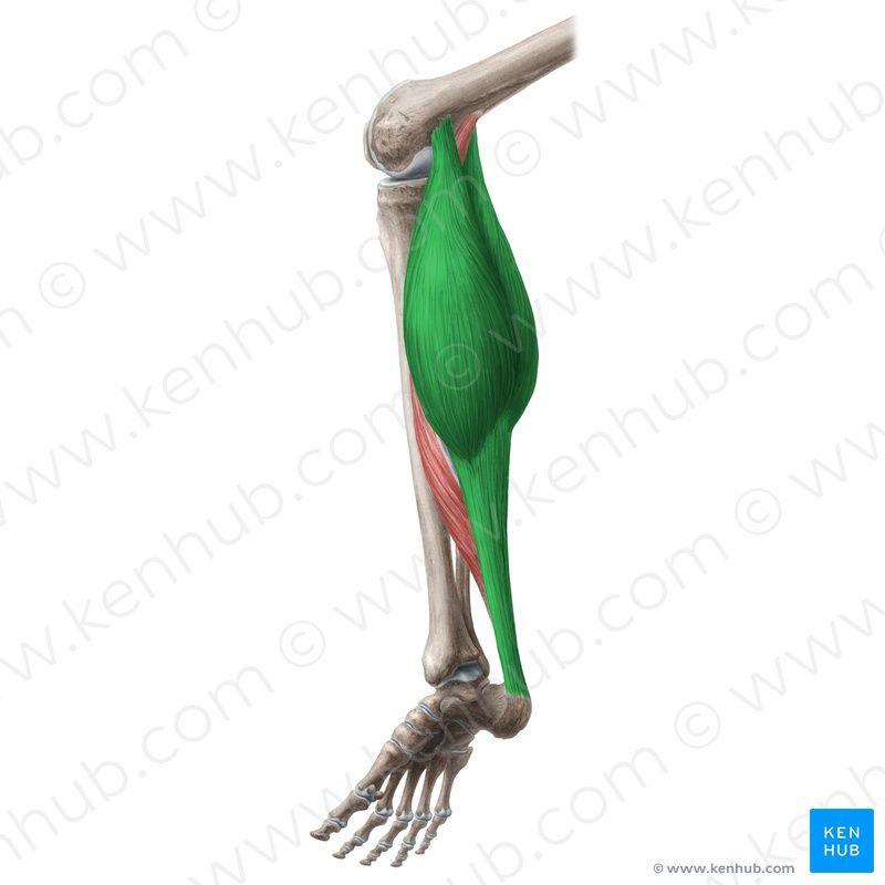 Gastrocnemius-origins-insertions-femur-achilles-tendon.gif   ANATOMY ...