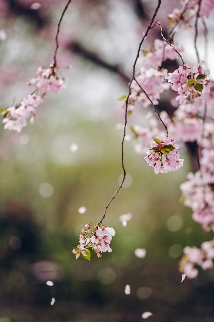 Image result for falling cherry blossoms Pinterest