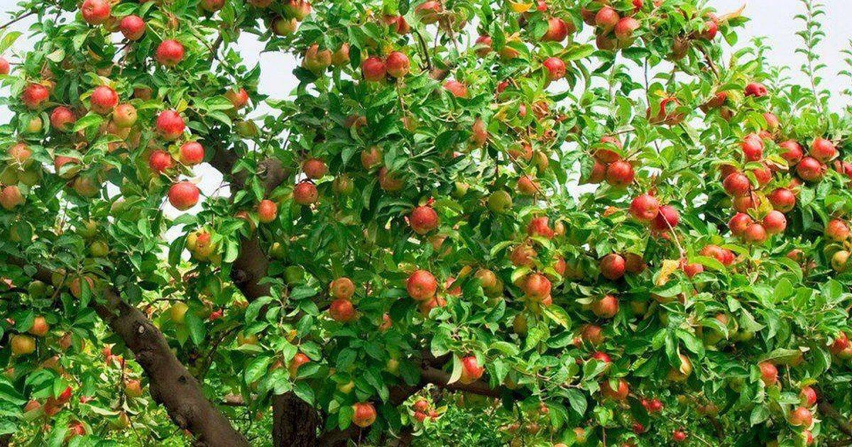 كتاب شجرة التفاح Planting Fruit Trees Fruit Trees Tree Seeds