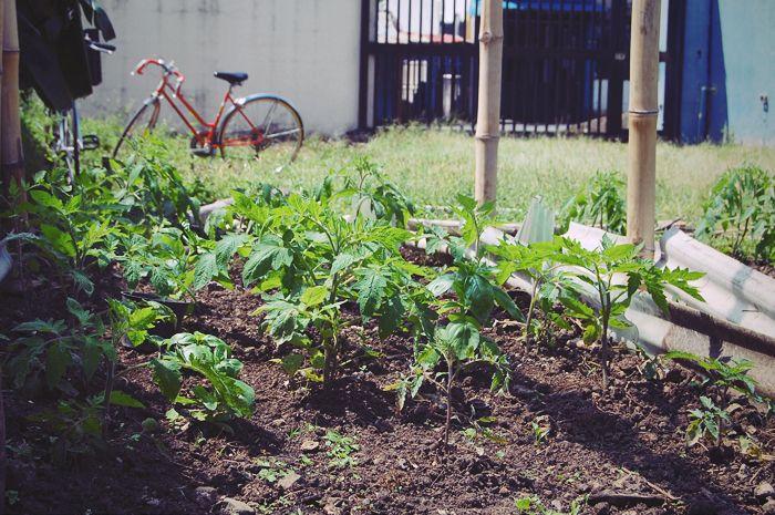 Tomates en la huerta orgánica de Zapote