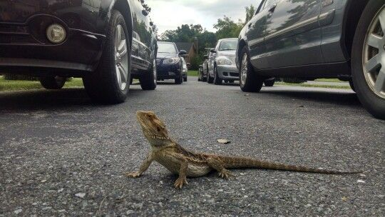Bearded dragon is in the drive way
