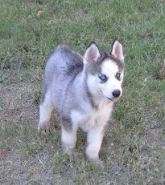 Puppies For Sale Florida Siberian Husky Breeders Siberian