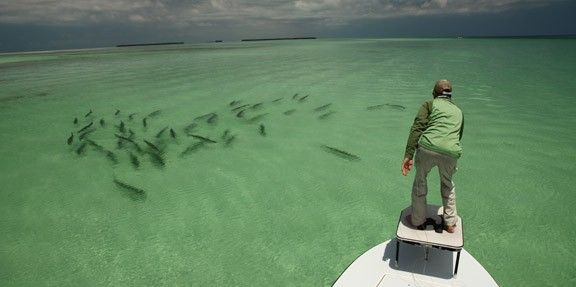 Epic Tarpon Shot Of Fish Swimming Down The Clear Oceanside Flats