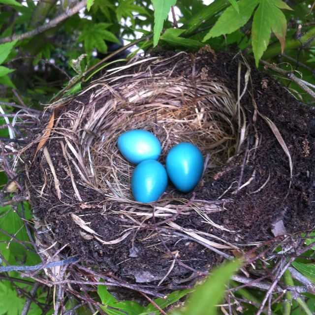 Robin Eggs I Have A Nest Just Like This On My Back Patio Gate They Just Hatched Pet Birds Bird Photo Robins Egg