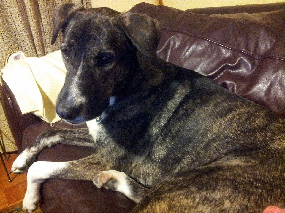 Lost Dog Boxer Toronto On Canada Losing A Dog Losing A