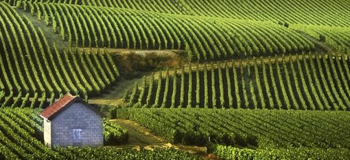 Champagne growing season worst in decades