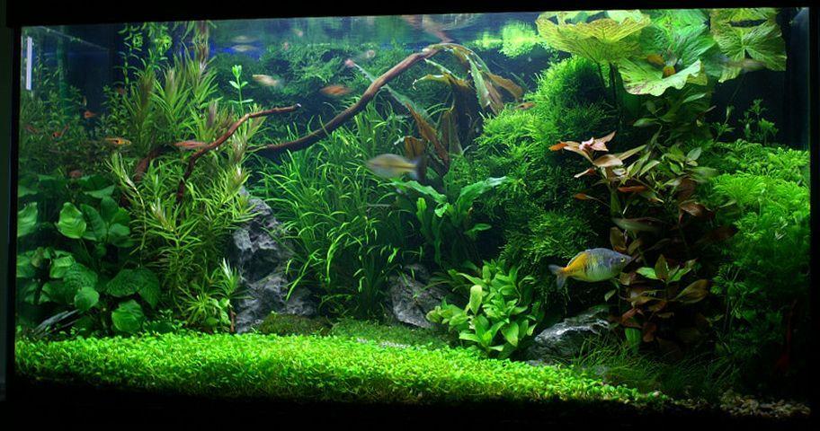 Comment choisir les plantes d 39 un aquarium d 39 eau douce aquascaping pinterest aquarium - Plantes d aquarium eau douce ...