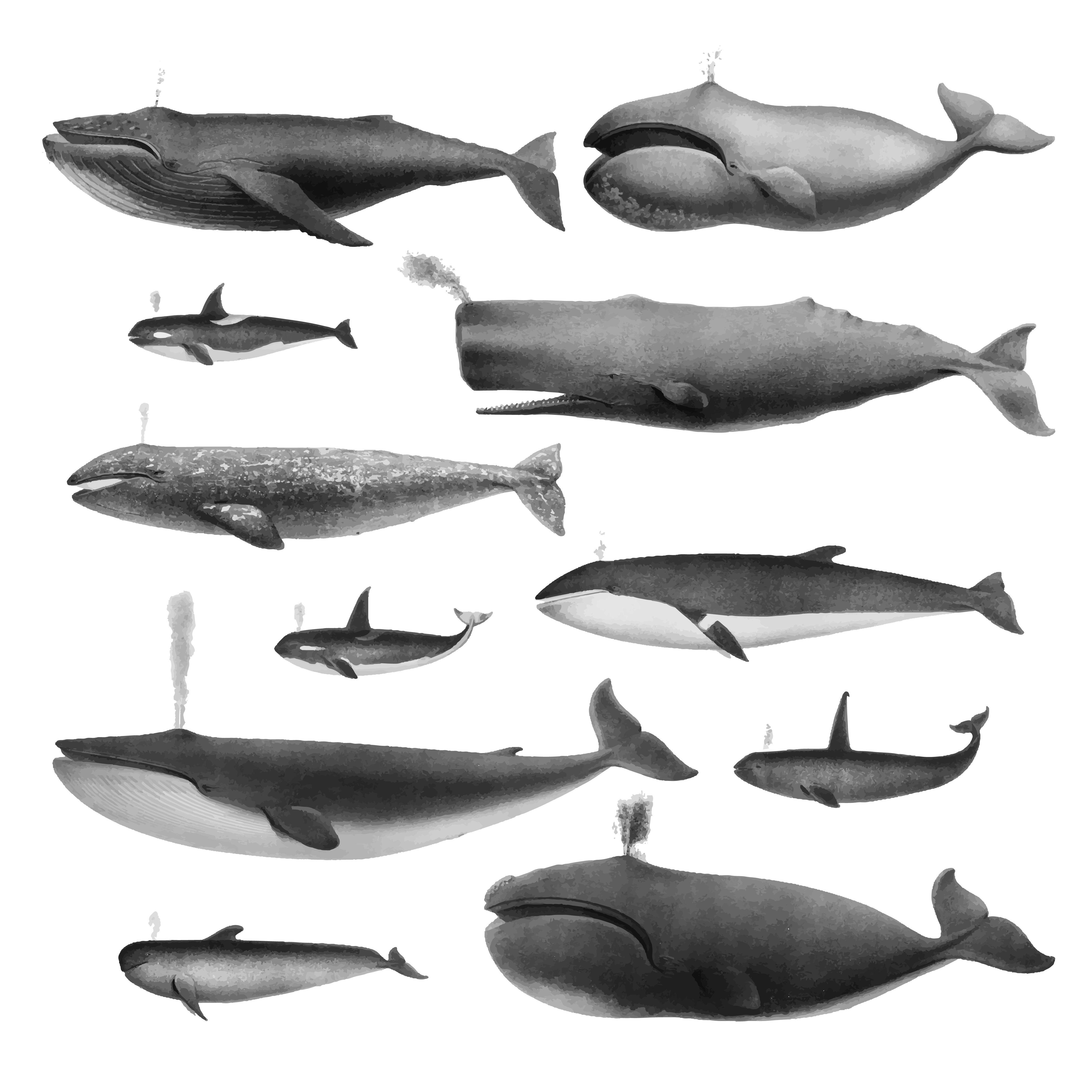 Vintage Illustrations Of Whales In 2020 Vintage Illustration Whale Illustration Vector Art Design