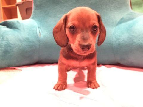 Litter Of 4 Dachshund Puppies For Sale In Wichita Ks Adn 26489