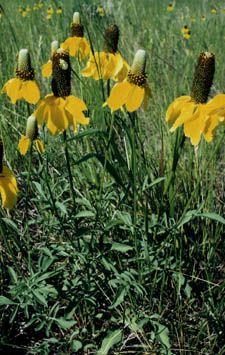 Ratibida columnifera yellow prairie coneflower yellow flowers 1 to 2 ratibida columnifera yellow prairie coneflower yellow flowers 1 to 2 ft tall full sun dry yellow flowersperennials mightylinksfo Gallery