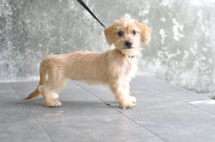 Shih tzu dachshund Dachshund mix puppies, Terrier mix