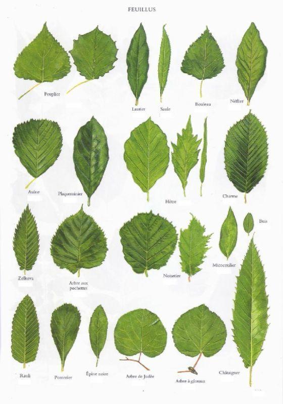 savoir reconnaître les arbres - la voie de gaïa | botanica