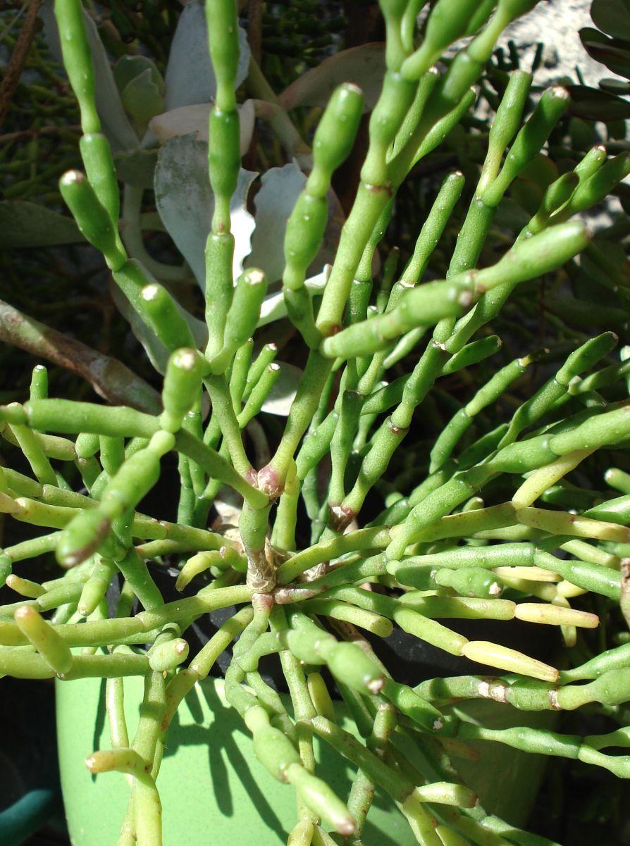 Hatiora Salicornioides Suculentas Cactus