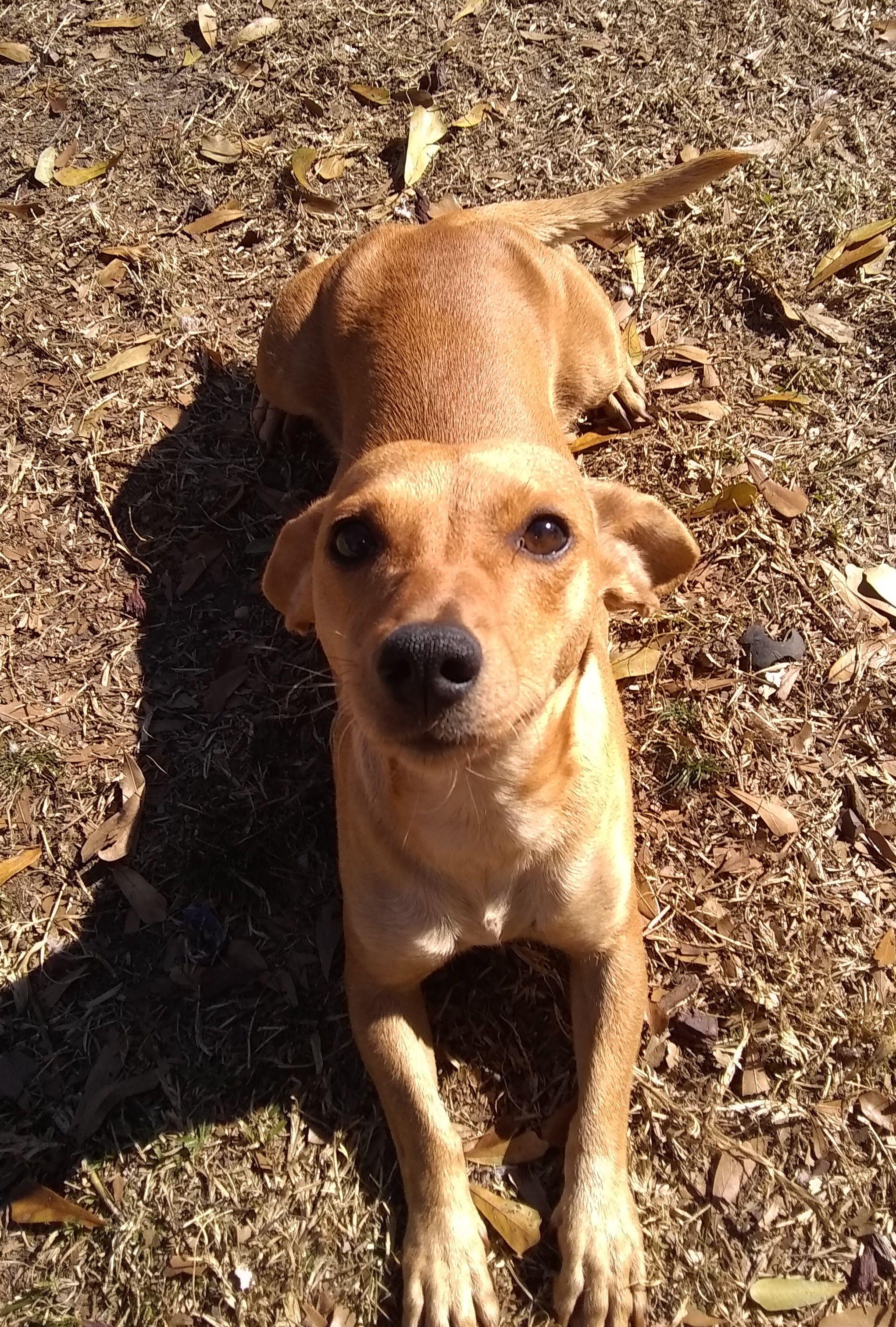 Chiweenie Dog For Adoption In Slidell La Adn 776627 On