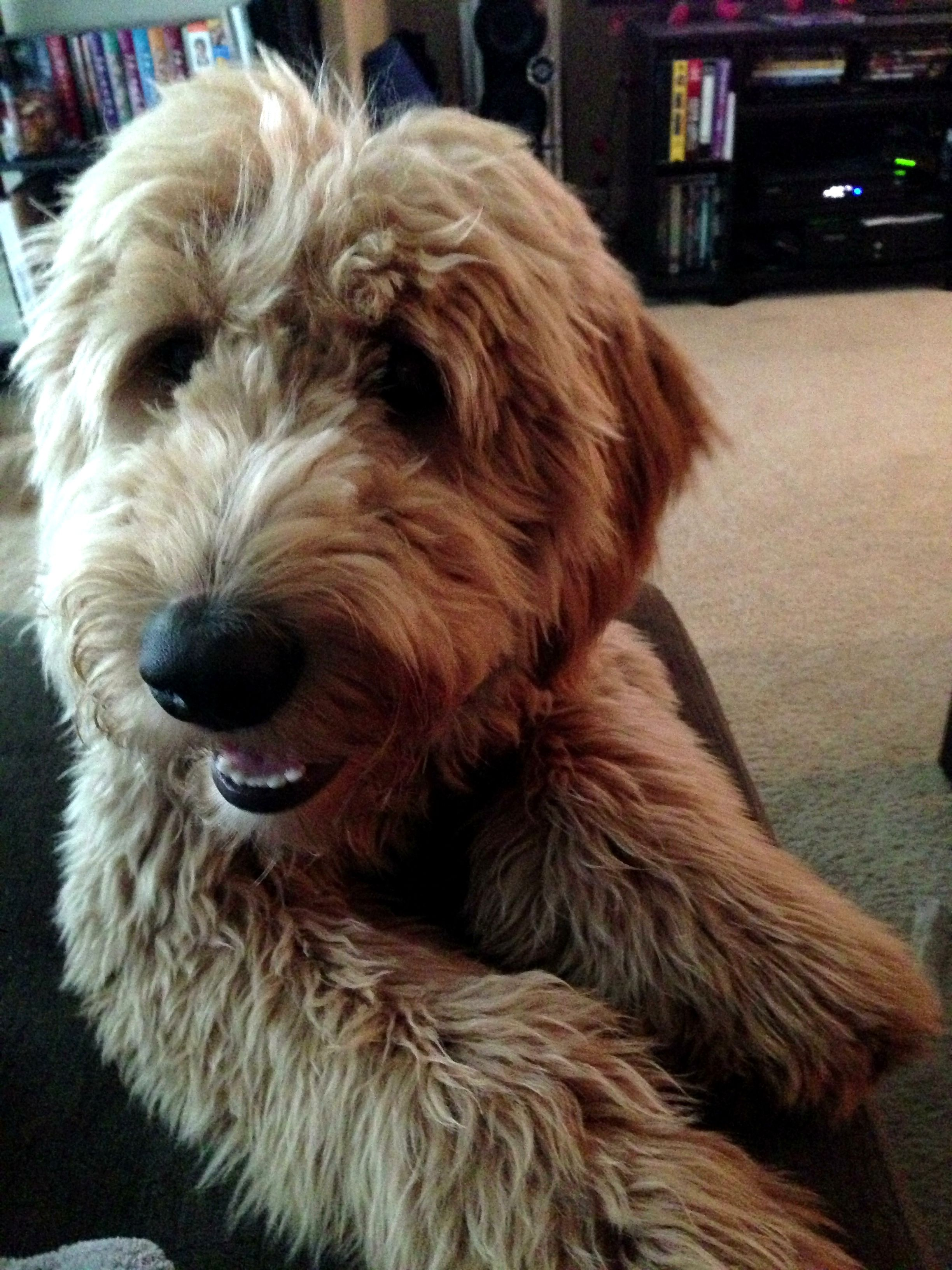 I want a golden doodle so badly. Look he's smiling